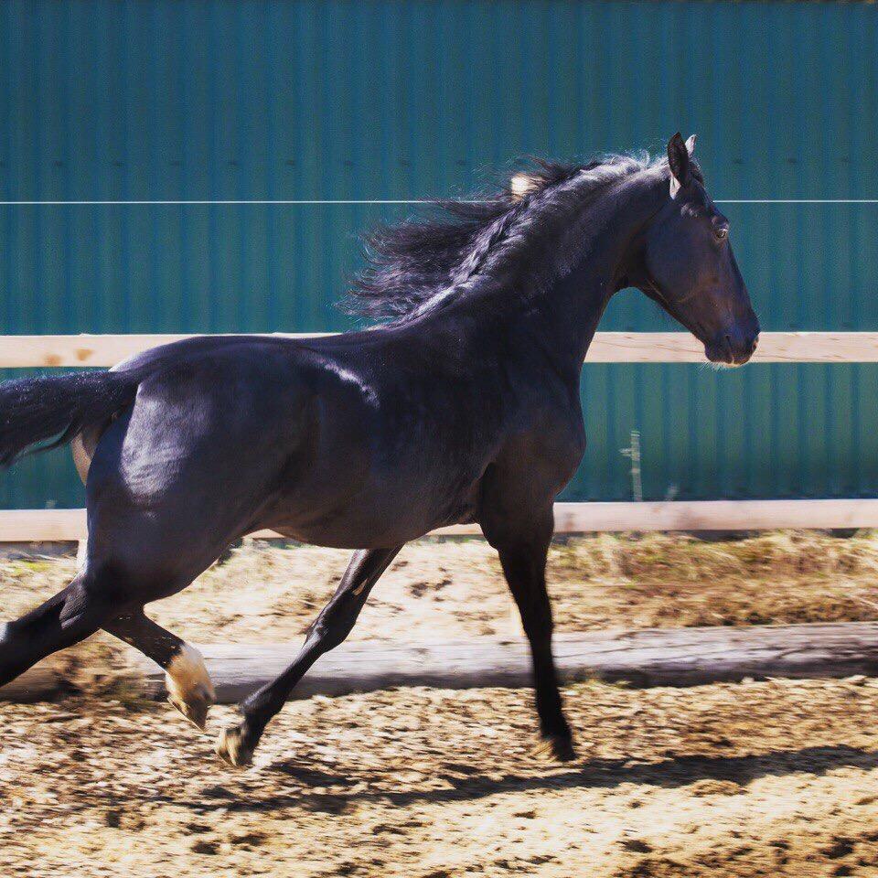 Обзор породы лошадей орловский рысак, особенности характера, фото и видео