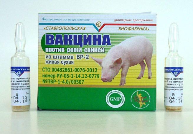 Рожа у свиней: симптомы и лечение в домашних условиях