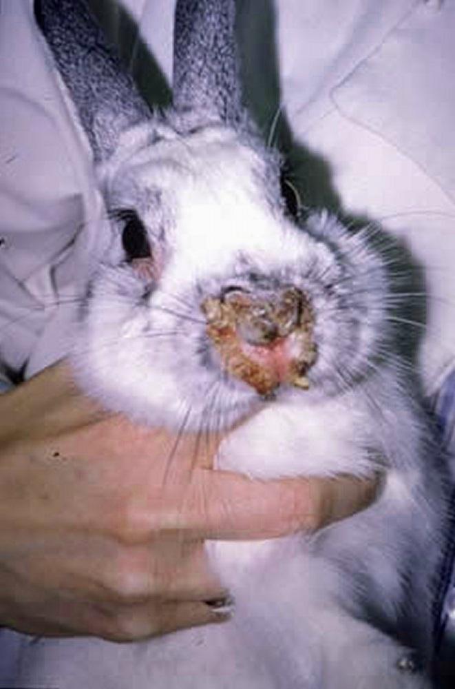 Инфекционный стоматит кроликов – симптомы и лечение