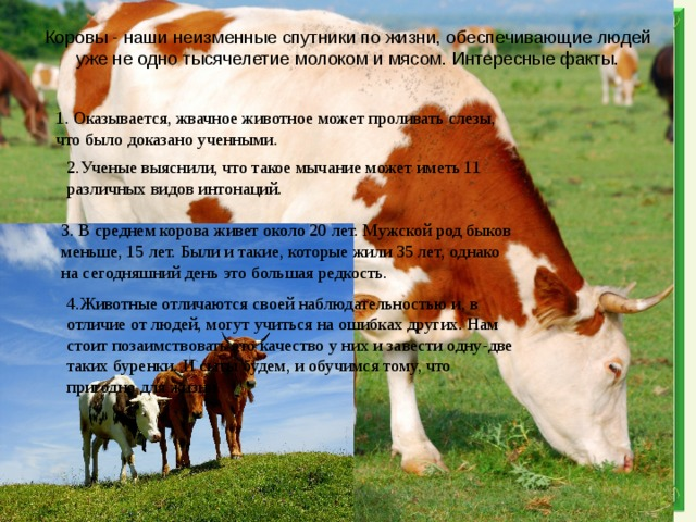 Сколько весит корова: от чего зависит вес, средний вес, таблицы измерения