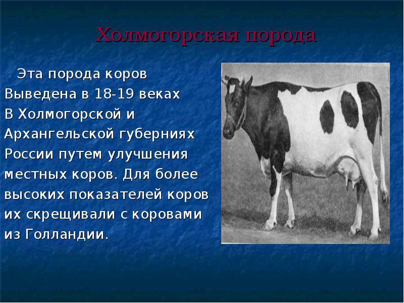 Холмогорская порода коров: характеристика и описание