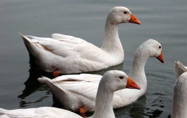 Разведение белых гусей: описание и содержание пород