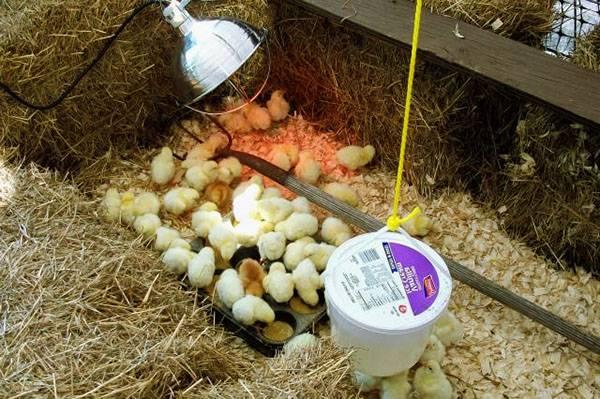 Особенности ухода за цыплятами в первые дни жизни