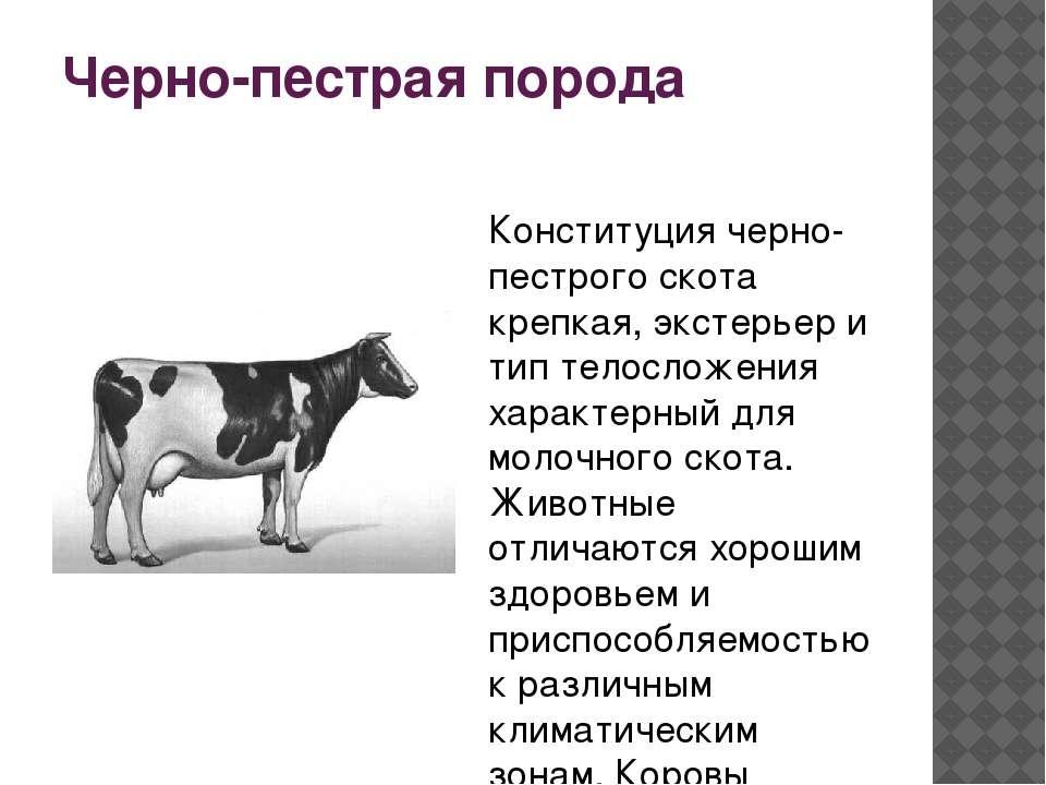 Черно-пестрая порода крс - разведение, содержание пестрых коров