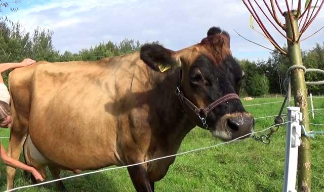 Яловая корова как раздоить яловую корову - oozoo.ru