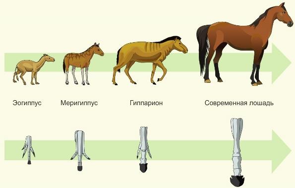 Древние предки лошади и родственные животные. эволюция лошади