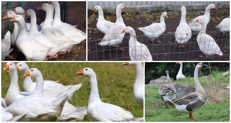 Как выращиваются итальянские гуси: описание и характеристика
