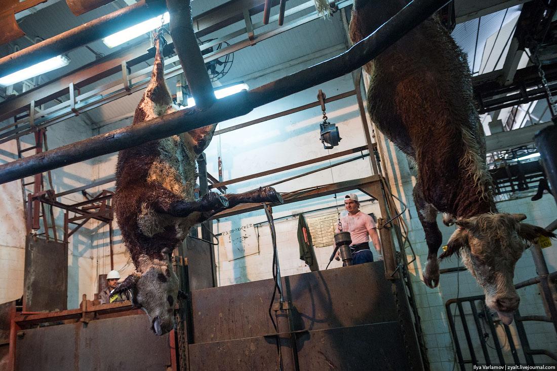 Как режут и разделяют коров: фото и видео обзор