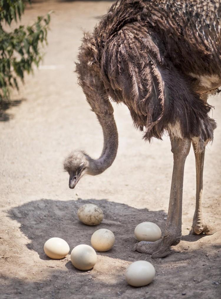 Сколько весит страусиное яйцо: факты и цифры из жизни страусов