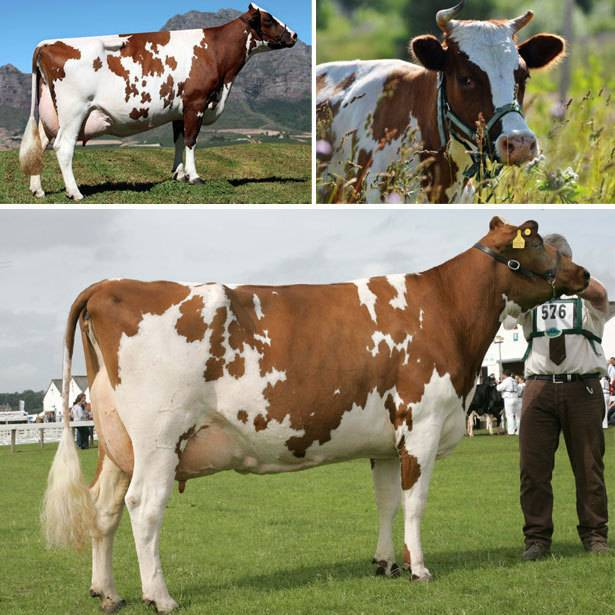 Порода коровы – бельгийская голубая: особенности, уход и продуктивность