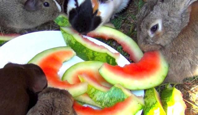 Можно ли кроликам арбузные корки и мякоть?