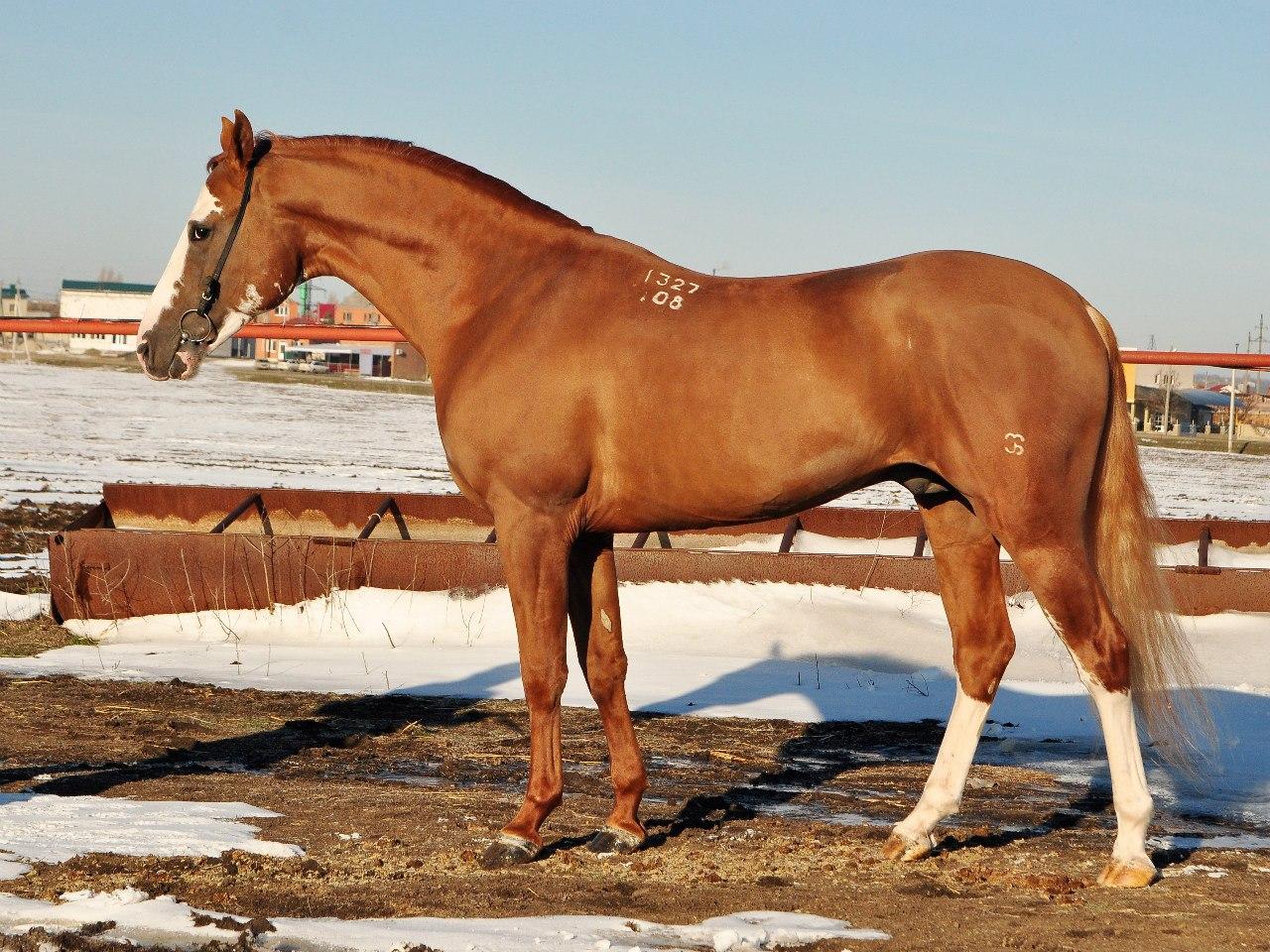 ✅ донская порода лошадей: характеристика дончака (казачьего коня) - tehnomir32.ru