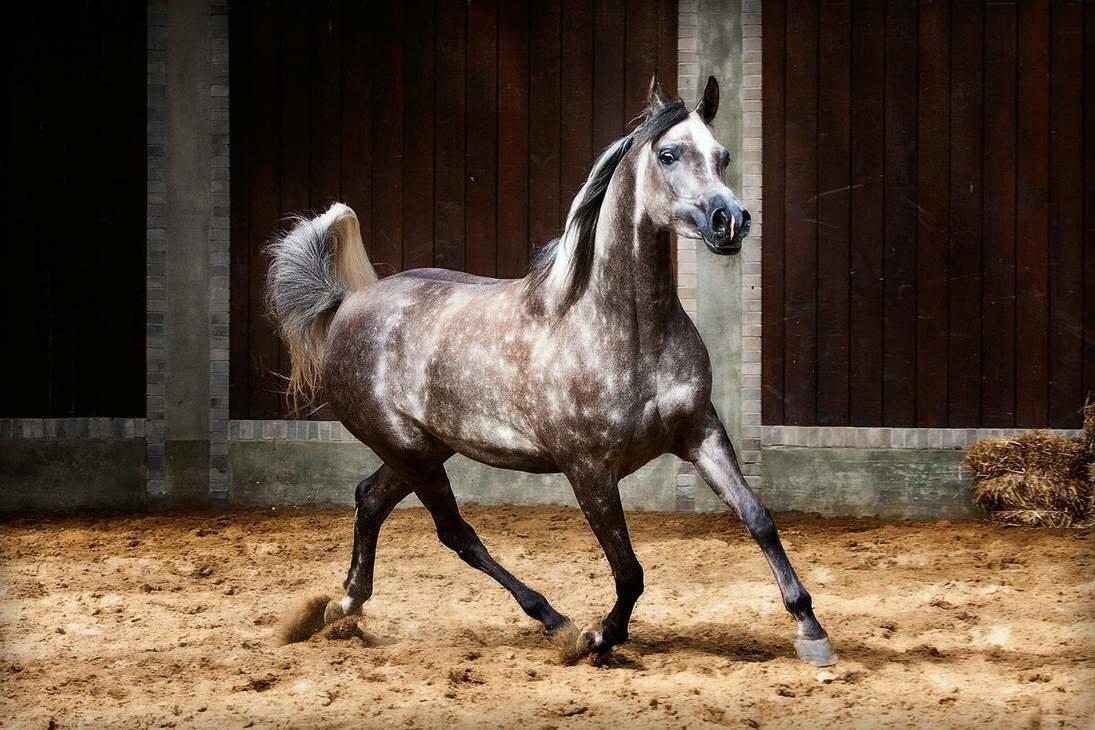 Арабская лошадь: особенности разведения и уход — cельхозпортал
