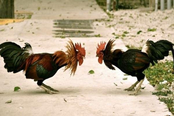 Разновидности бойцовых петухов: внешний вид и особенности бойцовых птиц