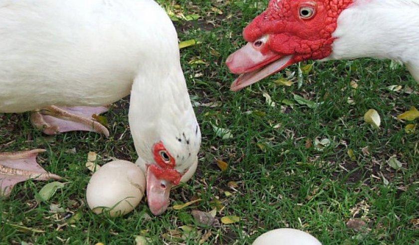 Сколько дней индоутка сидит на яйцах: как подкладывать и сколько