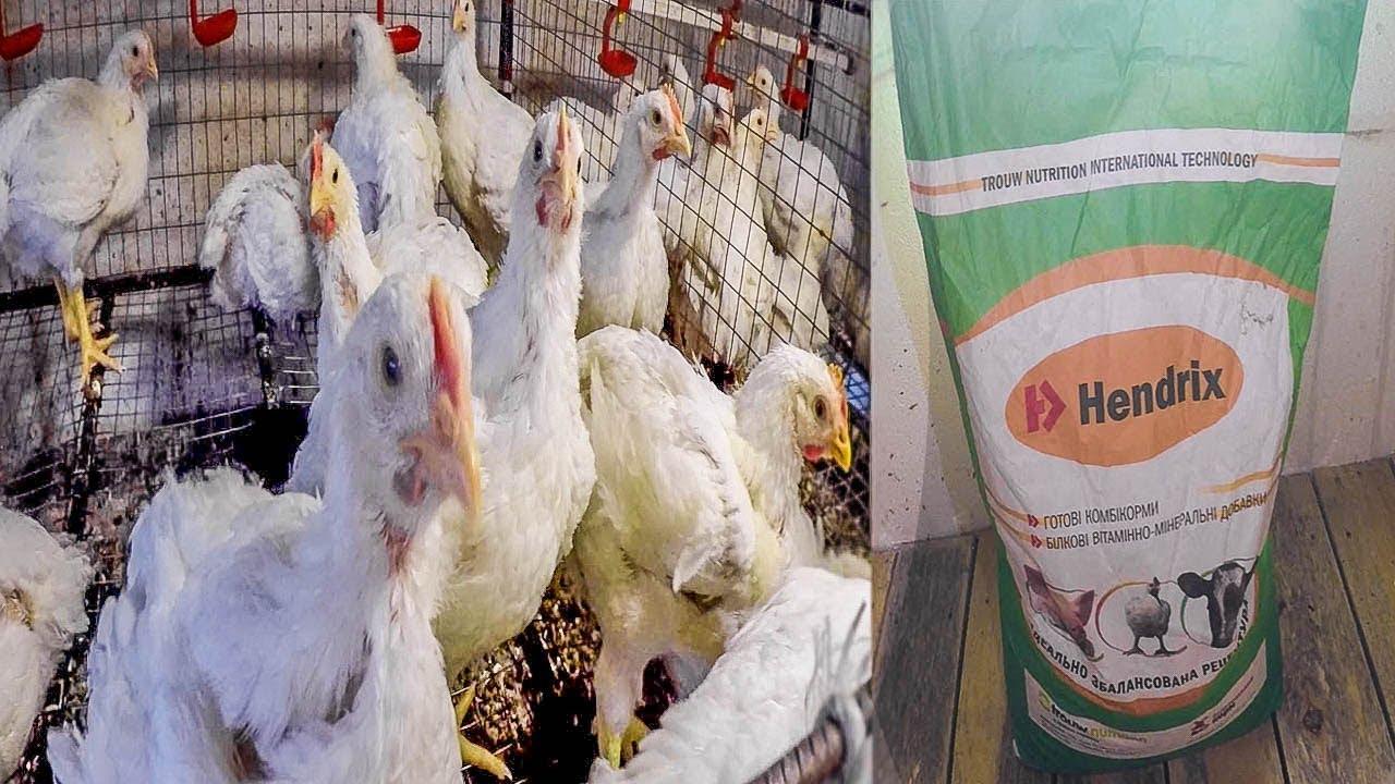 Чем кормить цыплят бройлеров для быстрого роста