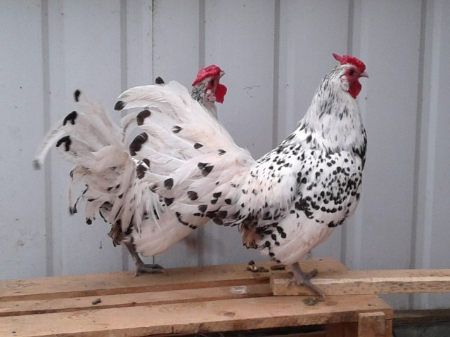 Скрещивание кур разных пород в домашних условиях