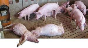 Почему кролики не растут (плохо растут и не набирают вес): что делать, чем кормить