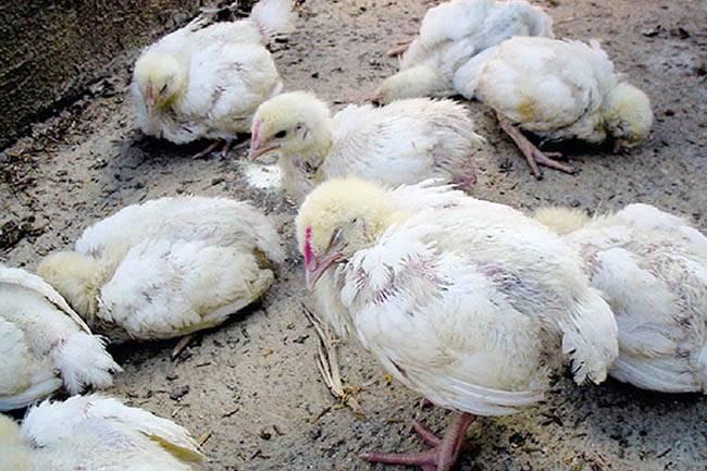 Опасный признак серьезного заболевания у домашних птиц - куры хрипят, чем лечить