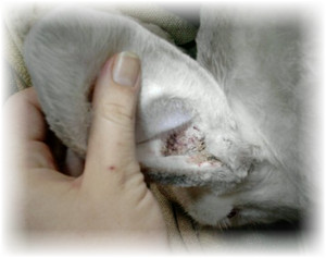 Болезни ушей у кроликов, их профилактика, симптомы и лечение.