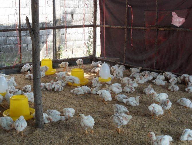 ✅ можно ли содержать в одном помещении кур, уток, гусей, бройлеров и их цыплят - tehnomir32.ru