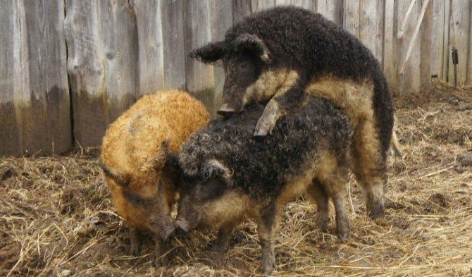 Порода свиней кармалы: характеристика и содержание