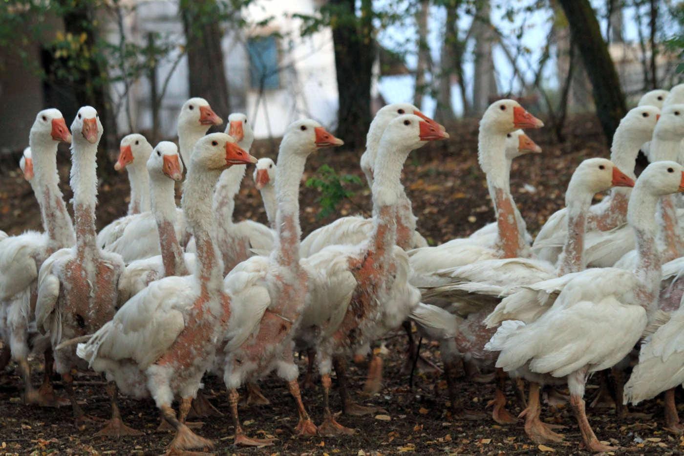 Почему утки выщипывают перья друг у друга
