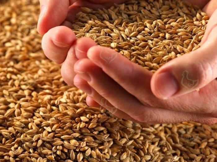 Как прорастить пшеницу для кур?