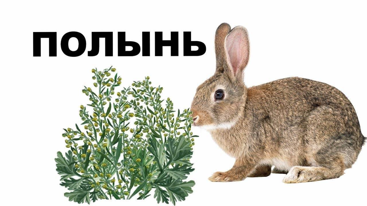 Можно ли кроликам давать полынь | комнатные цветы