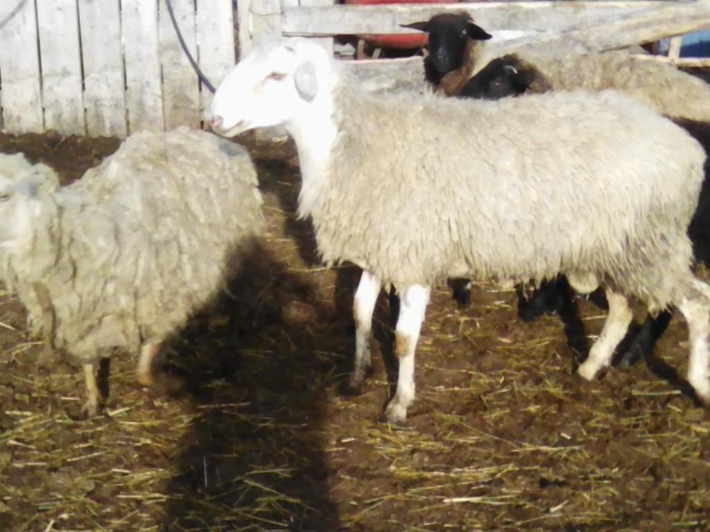Курдючные бараны и овцы: описание породы
