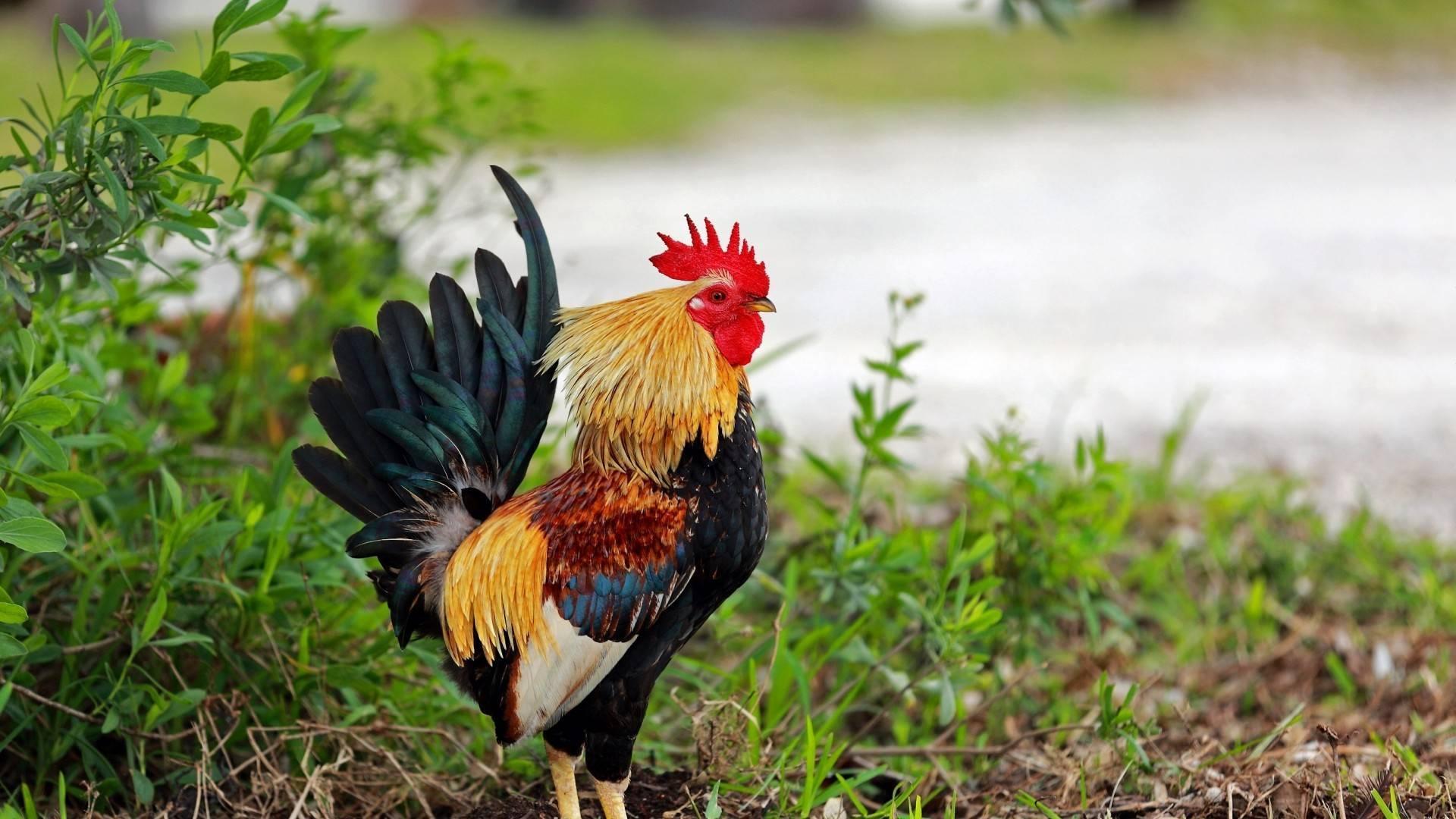 Банкивская джунглевая курица — обзор породы