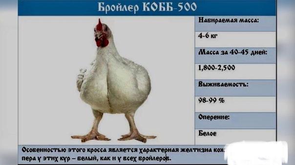 Росс-308: характеристика бройлера, описание породы и фото, особенности выращивания, кормления и ухода
