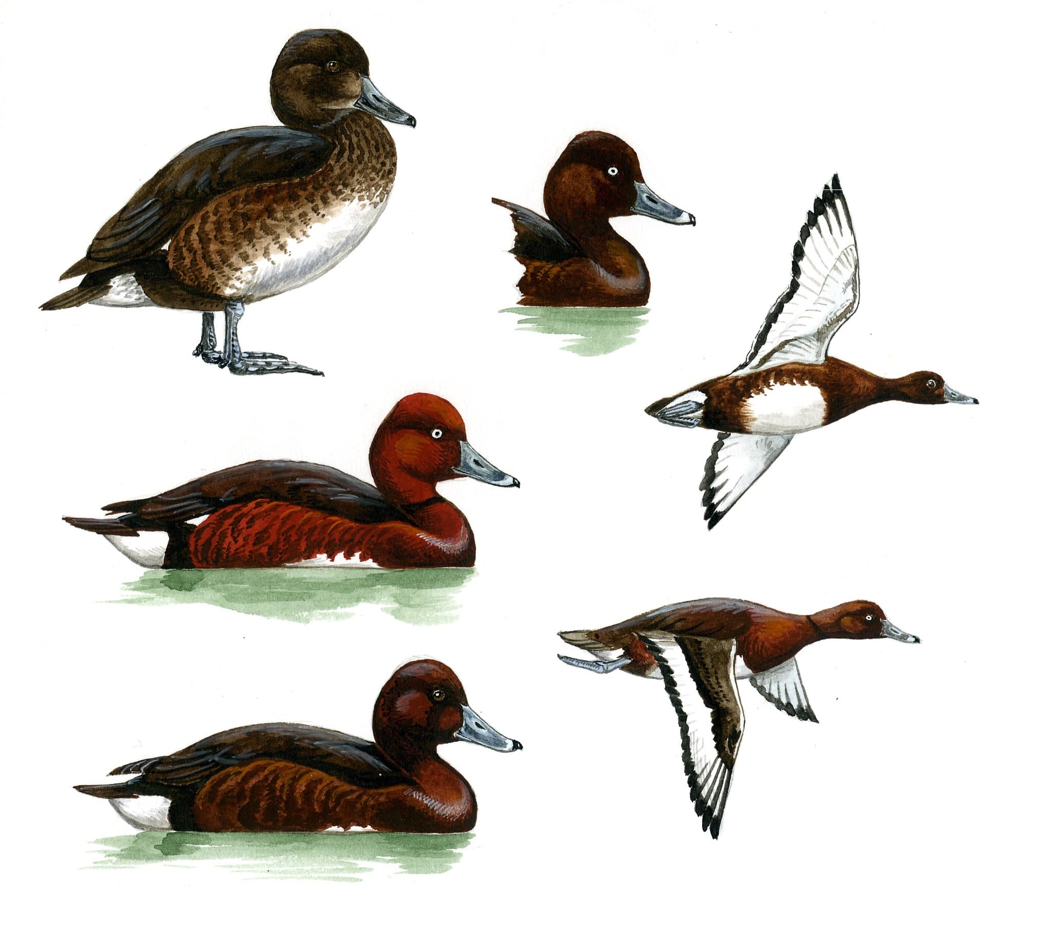 Нырковые утки: нырки, чернети, мраморный чирок, и розовоголовая