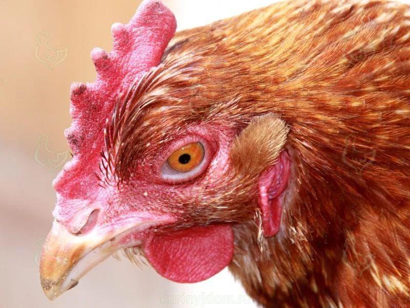 Респираторный микоплазмоз у цыплят. причины, признаки, лечение
