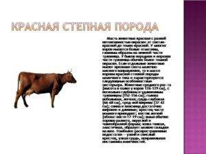 Корова «красная степная»: подробное описание породы