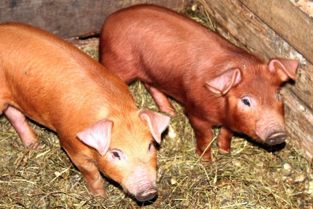 Свиньи породы дюрок и их характеристики