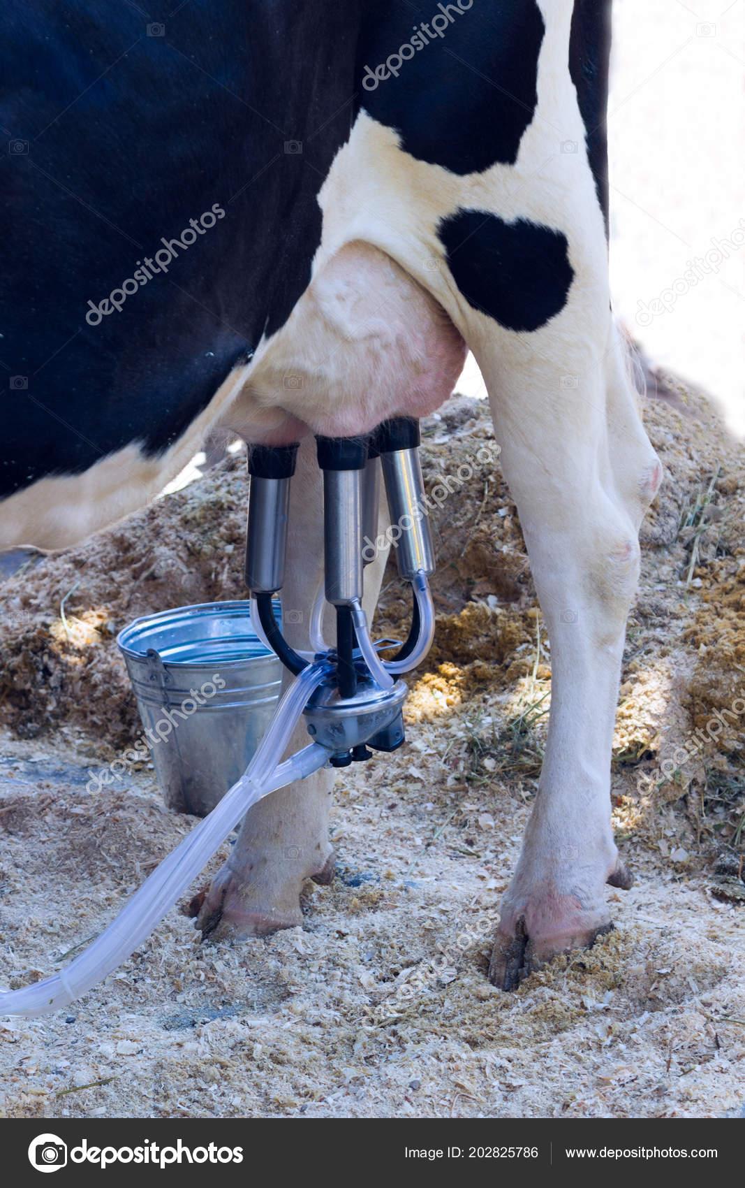 Как доить корову: особенности и описание способа доения руками и доильным аппаратом