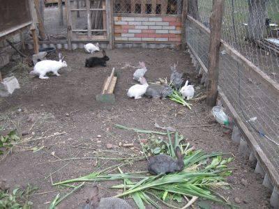 Кролики и куры: возможно ли содержать их вместе, особенности содержания