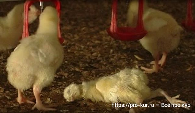 Дохнут цыплята: почему это происходит, что делать и чем следует лечить?