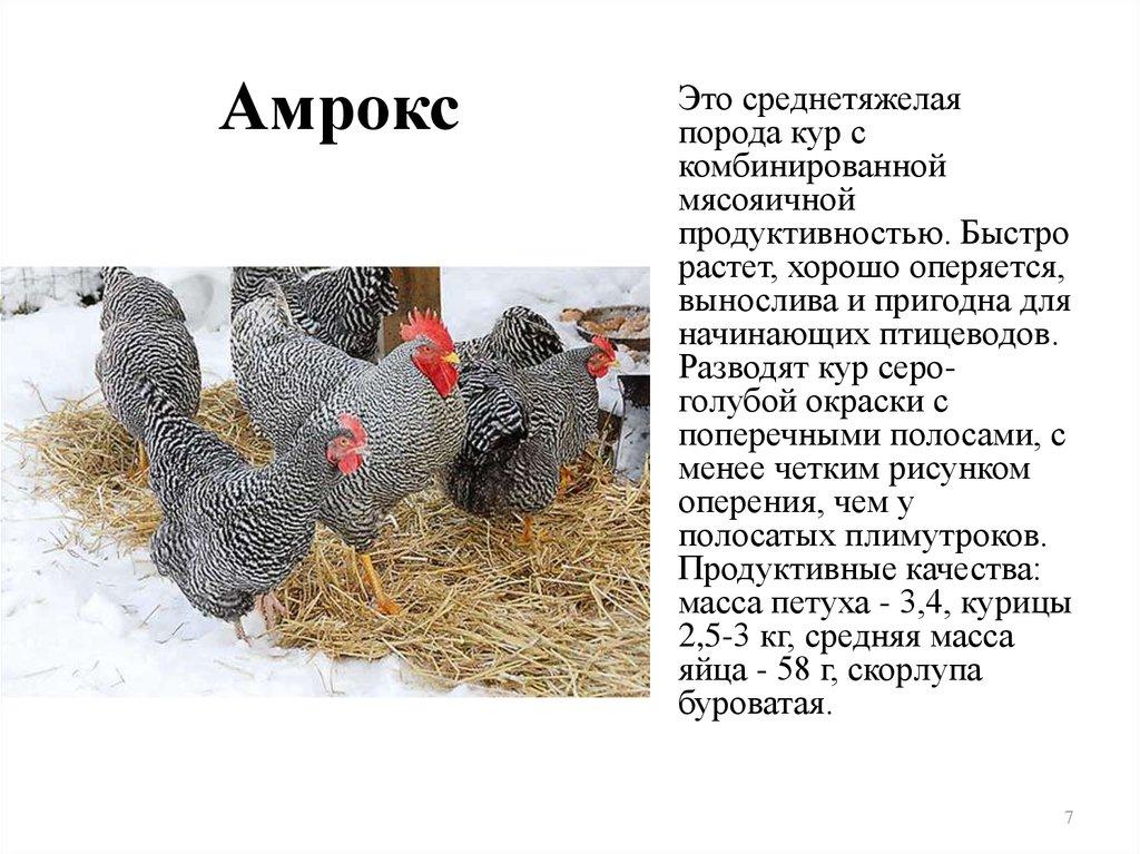 Куры амрокс: продуктивность и перспективы разведения — cельхозпортал