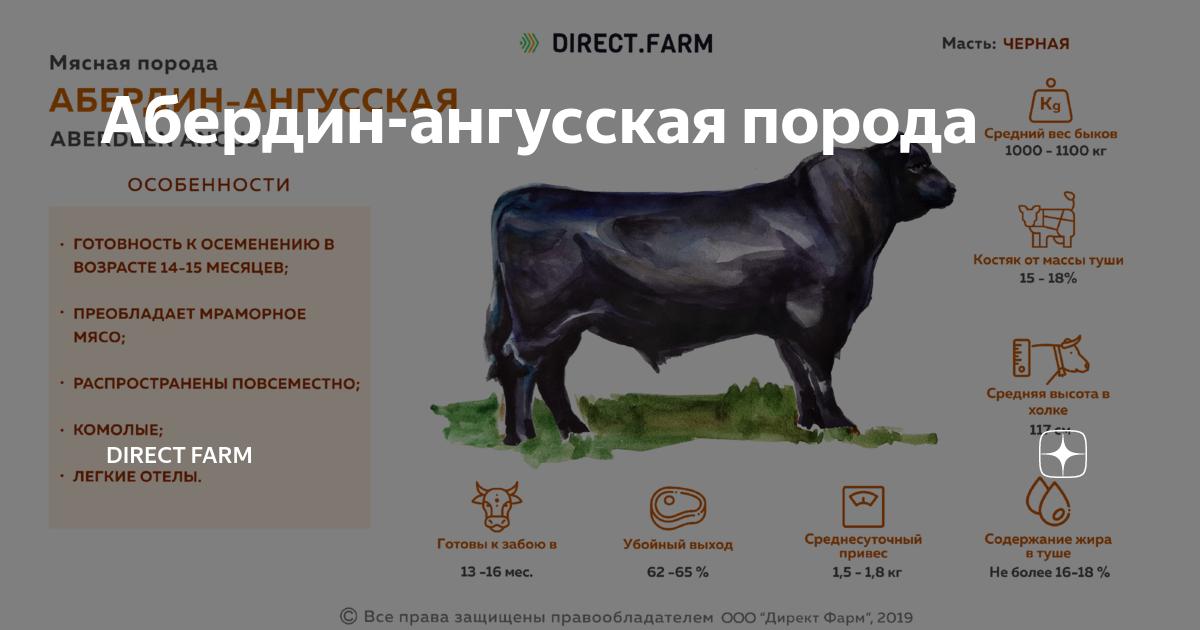 Абердин-ангусская порода коров – характеристика, содержание, кормление