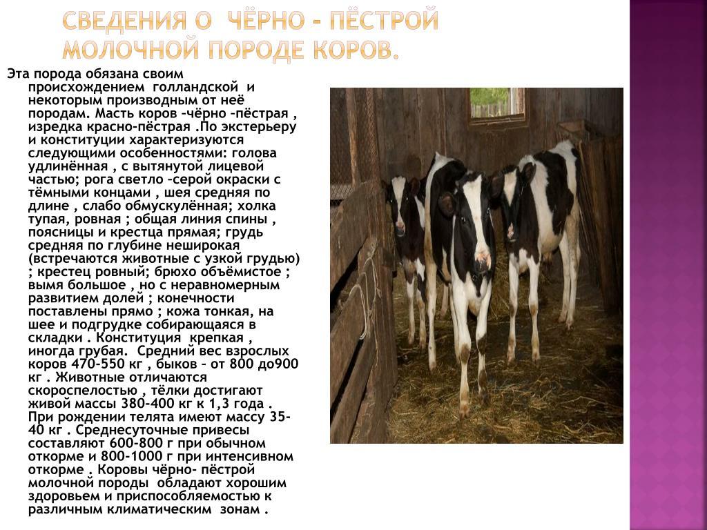 Описание черно — пестрой коровы