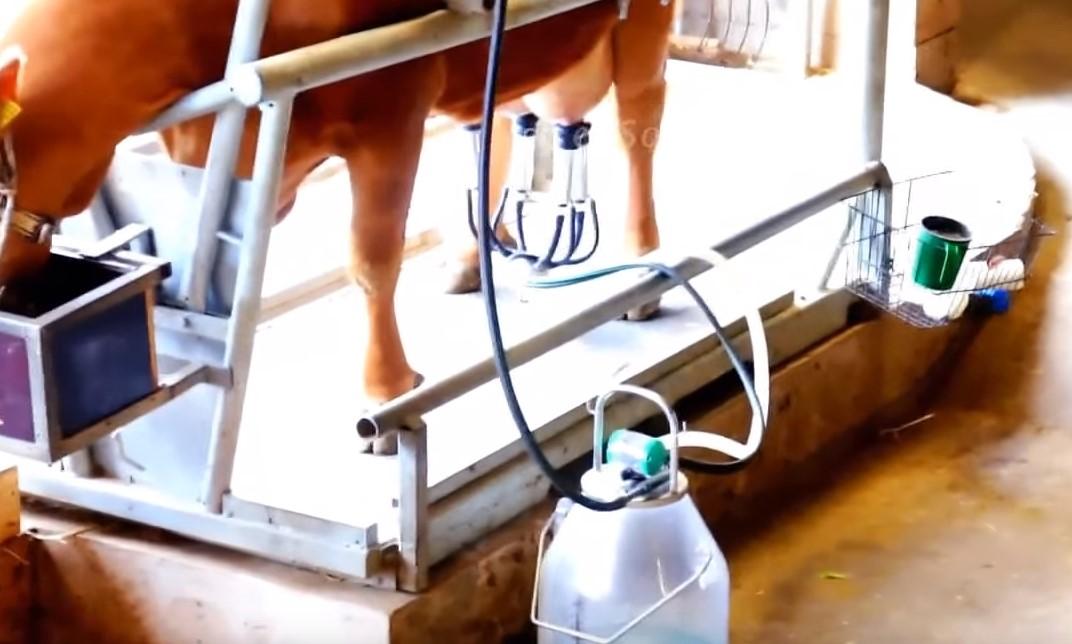 Как доить корову: технология и что будет если не доить