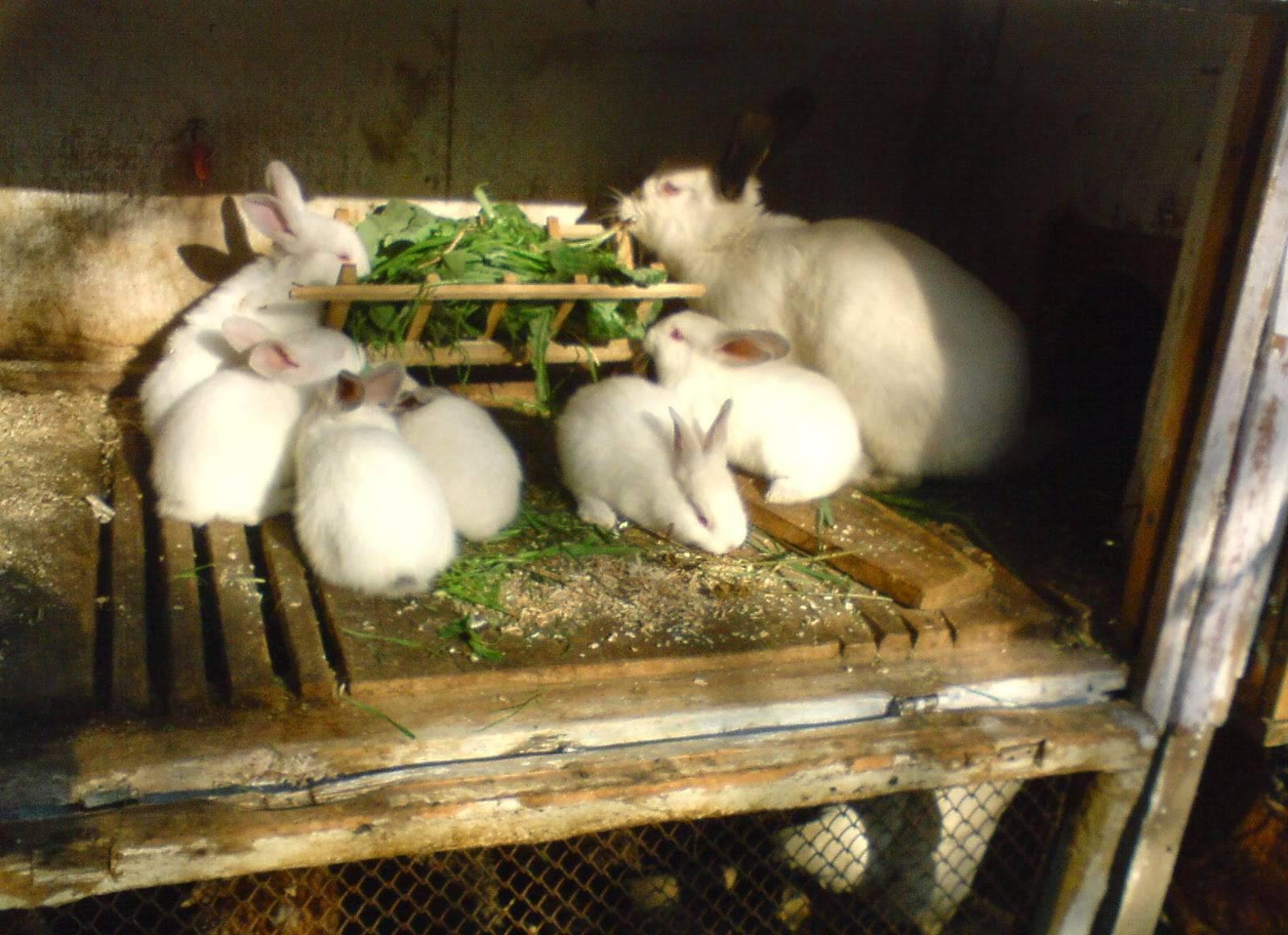 Можно ли кроликам давать сырой картофель: правила введения в рацион