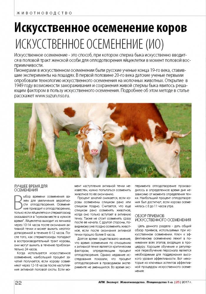 Спаривание коров: как осеменяют коров, половой цикл, охота у коров