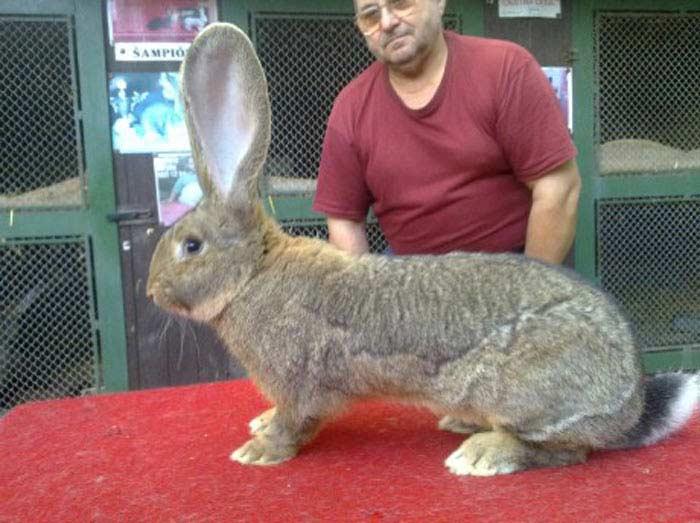 Самый большой кролик в мире: вес крупных пород