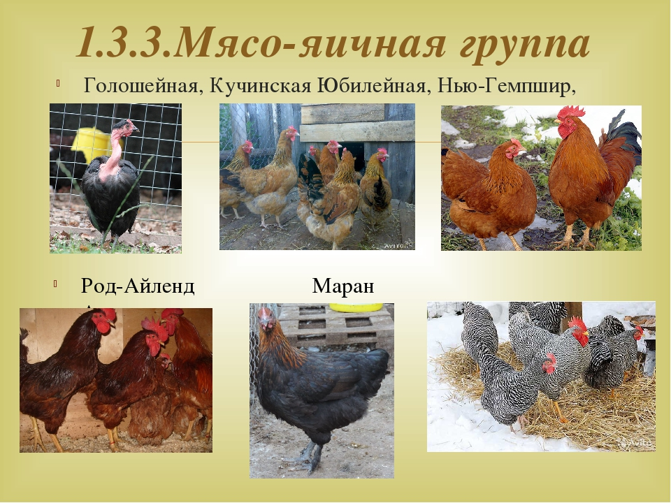 Какую породу кур лучше приобретать, на мясо и для яичного производства в домашнем и крупном птичнике