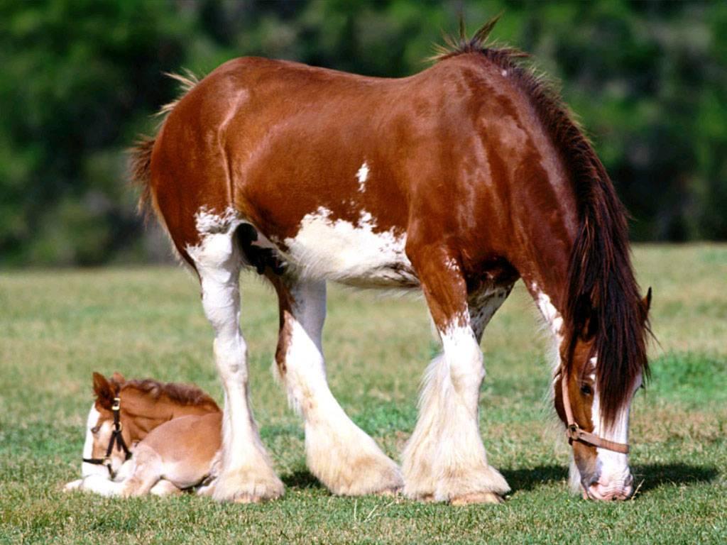 ✅ молоко лошади: как доят кобылу и как называется напиток из ее молока