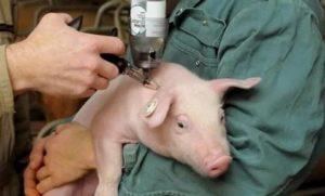 Статьи по ветеринарии свиней на piginfo | вакцины в свиноводстве
