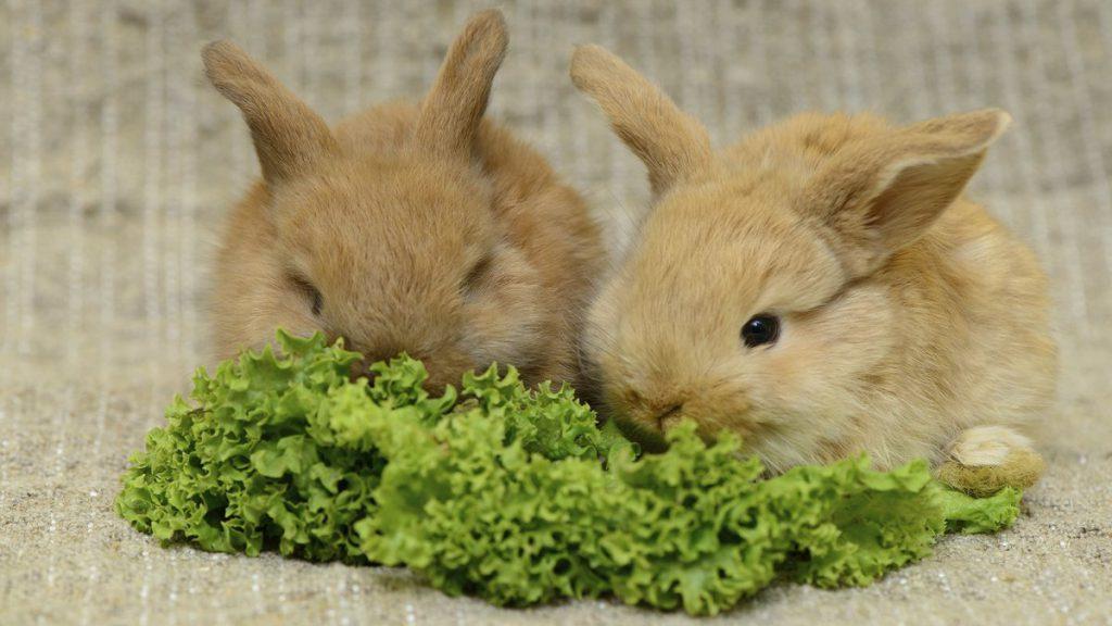 Чем кормить кролика декоративного в домашних условиях